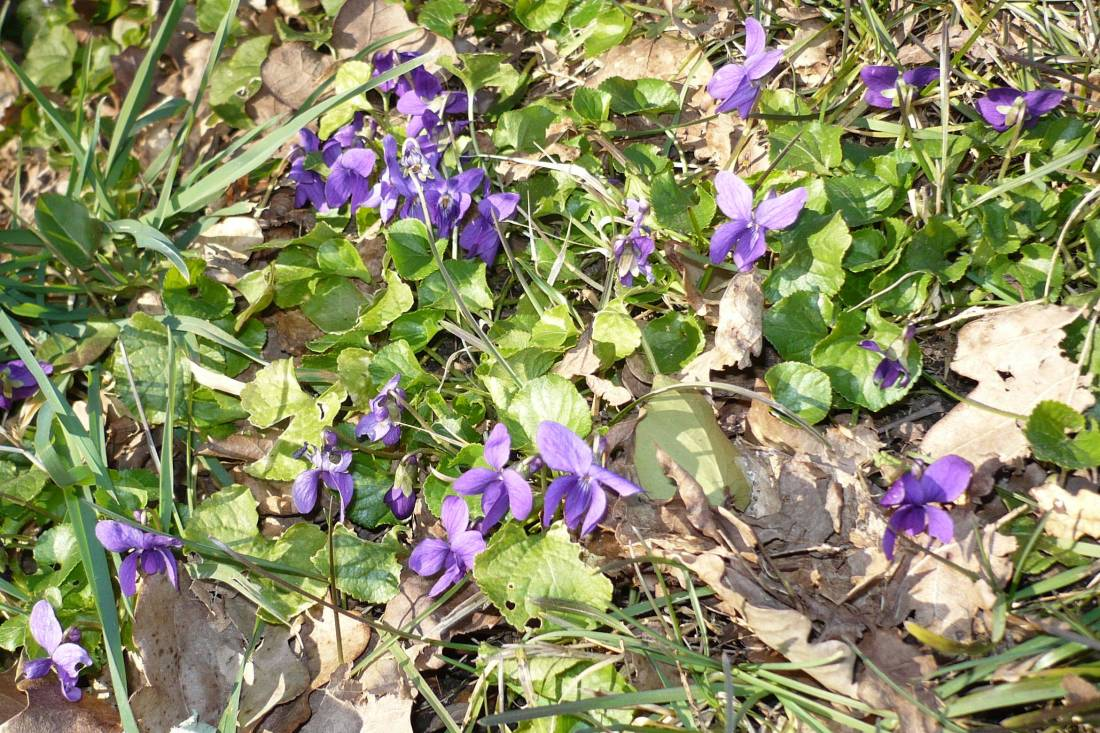 Violets near Bergerac, France. Ist March 2013